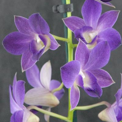 Orquídea Dendrobium hybrid purple