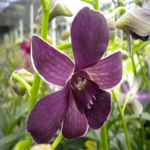 Orquídea Dendrobium blue siam