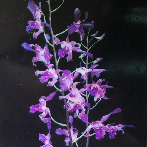 Dendrobium blue spin 1
