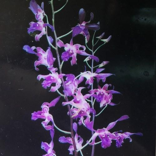Orchidee Dendrobium antelope Blue spin
