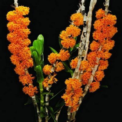 Orchidee Dendrobium bullenianum