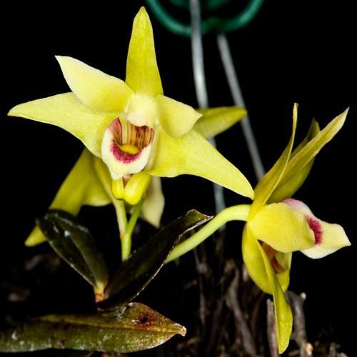 Orchidea Dendrobium catenatum