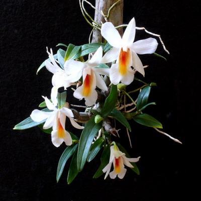 Dendrobium christyanum orchidee vente kaufen
