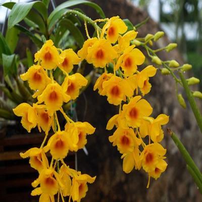 Orchidee Dendrobium chrysotoxum