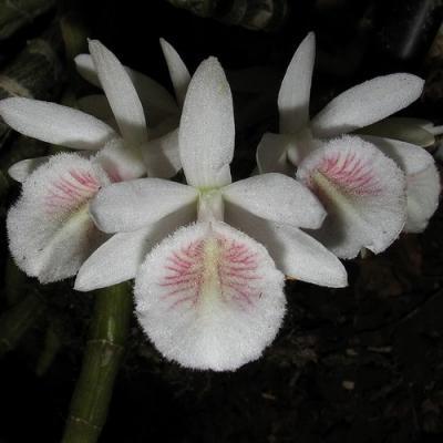 Orquídea Dendrobium cretaceum