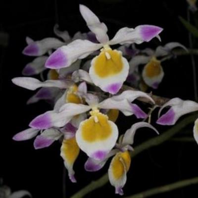 Orchidée Dendrobium crystallianum