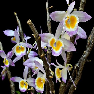 Orchidea Dendrobium crystallinum