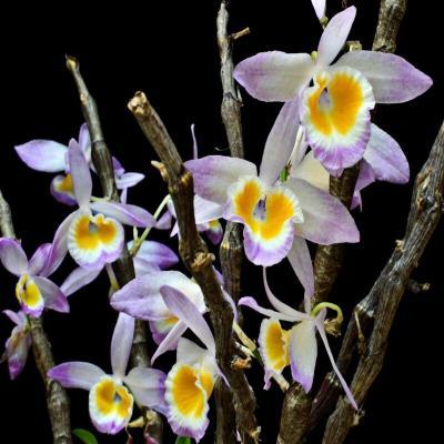 Orchidée Dendrobium crystallinum
