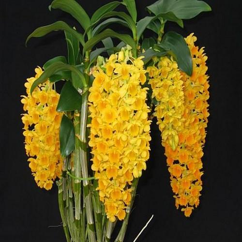 Orquídea Dendrobium densiflorum