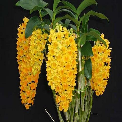 Orchidee Dendrobium densiflorum