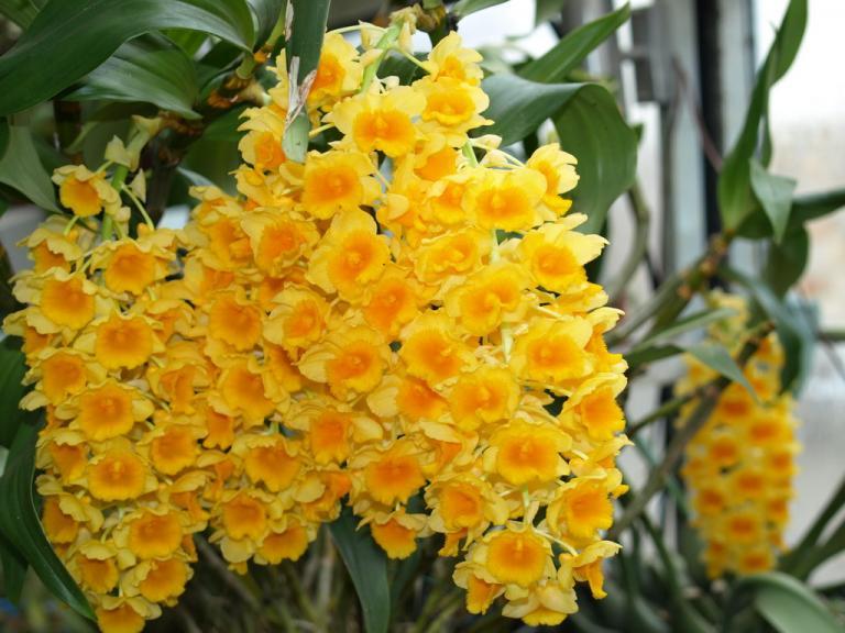 Orchidea Dendrobium densiflorum