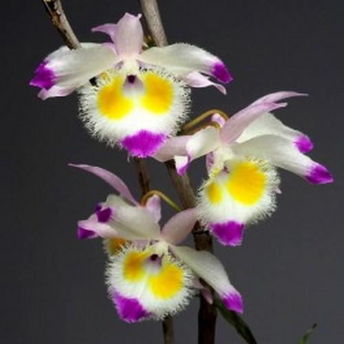Orquídea Dendrobium devonianum