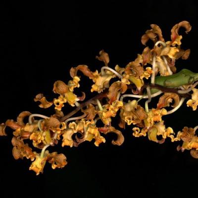 Orchidée Dendrobium discolor