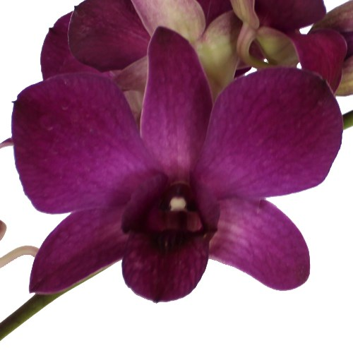 Dendrobium doeng 166 orchidee vente achat