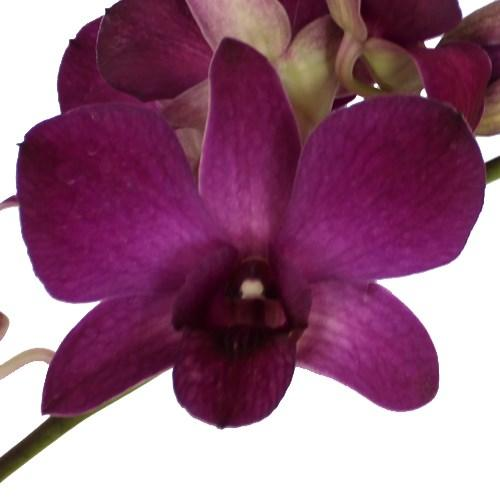 Orchid Dendrobium doeng 166