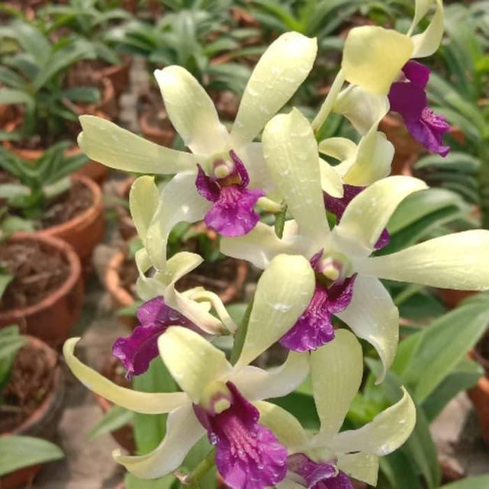 Dendrobium dr uthai x mini