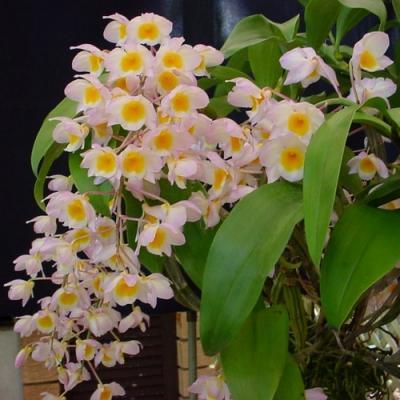 Orchidée Dendrobium farmeri