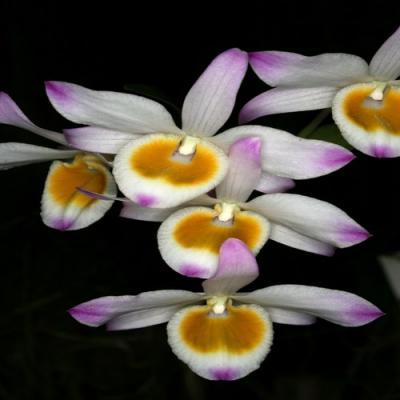 Orchidée Dendrobium findlayanum