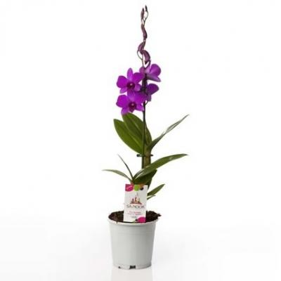 Orchidee Dendrobium pink party