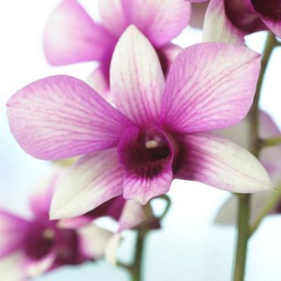 Orchid Dendrobium polar fire