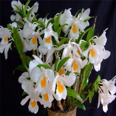 Dendrobium formosum orchidee vente fleurie