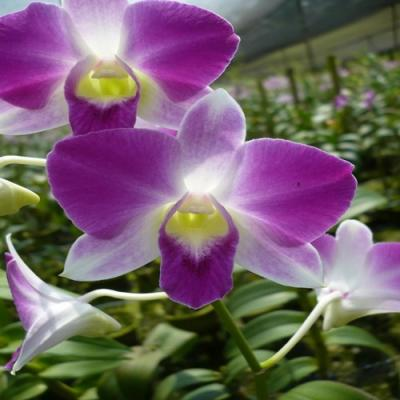 Orchidée Dendrobium happy variety pink