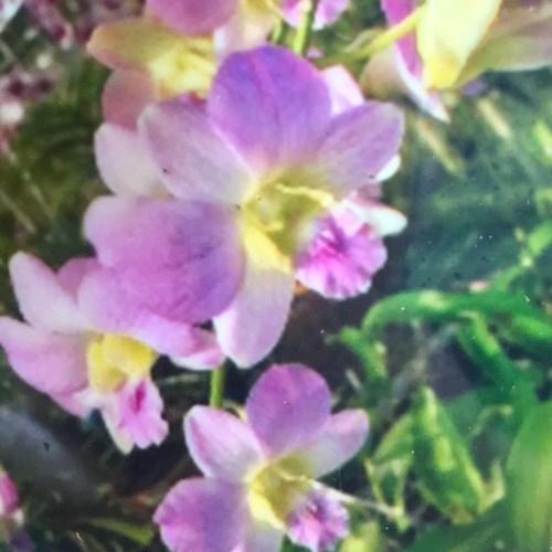 Orchidea Dendrobium Happy time