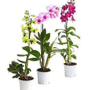Dendrobium hybrides orchidee vente