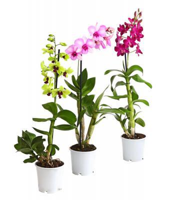 Orquídea Dendrobium hybride
