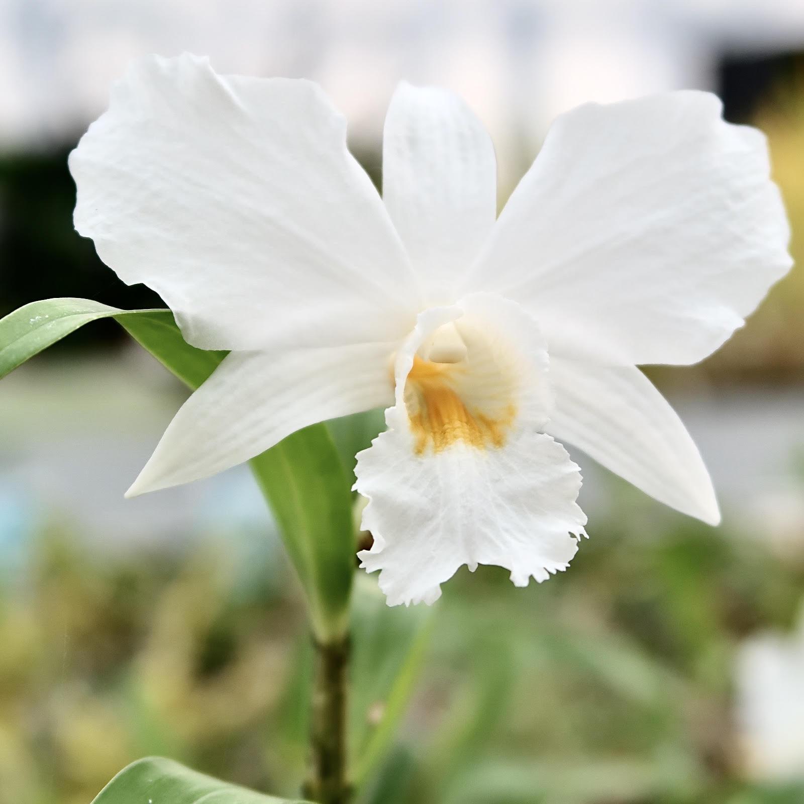 Dendrobium infundibulum 1
