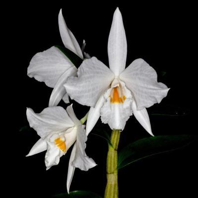 Orquídea Dendrobium infundibulum