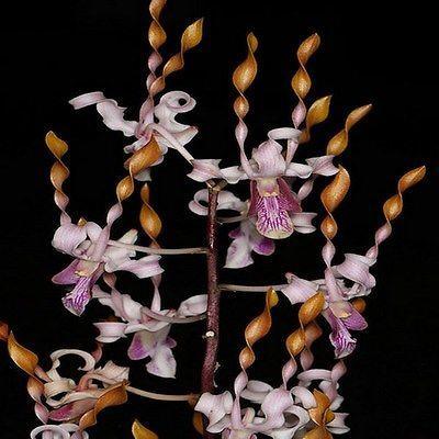 Orchidee Dendrobium jairak helix