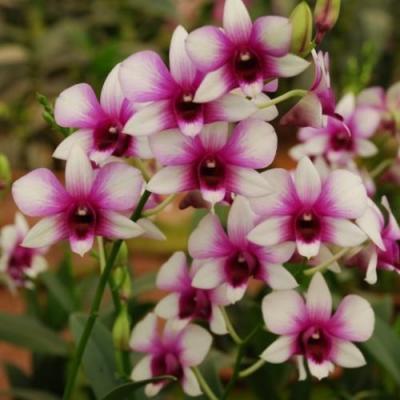 Orchidea Dendrobium Kaidao beauty