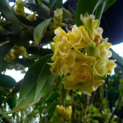 Orchidee Dendrobium lamellatum
