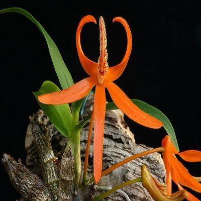 Orchidee Dendrobium lamyaiae