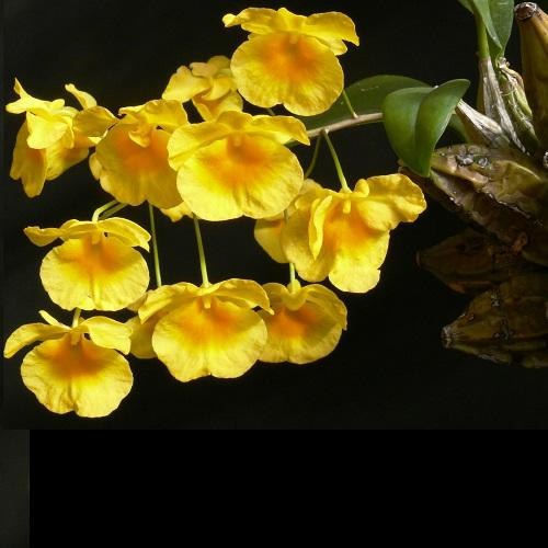 Orchidee Dendrobium lindleyi