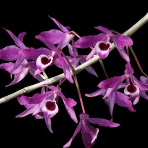 Orchidea Dendrobium lituiflorum