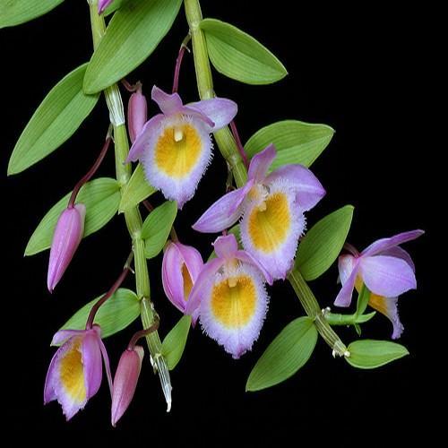 Orchidea Dendrobium loddigessii