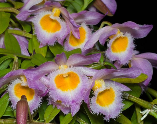 Dendrobium loddigessii