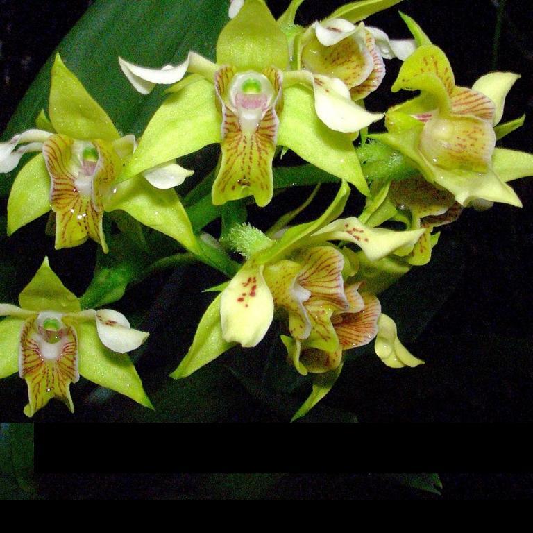 Orchid Dendrobium macrophyllum