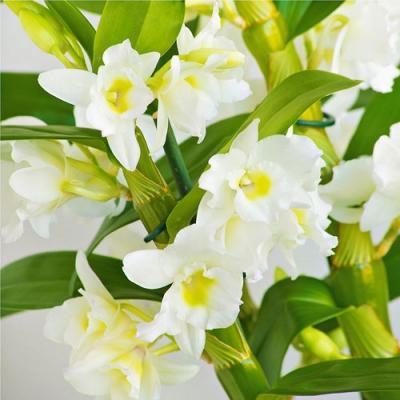Orquídea Dendrobium Nobile Apollon blanc