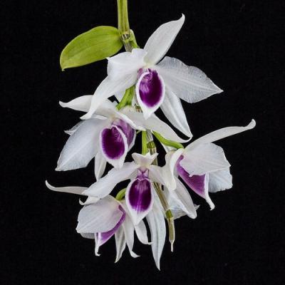 Orchidée Dendrobium nobile semi alba