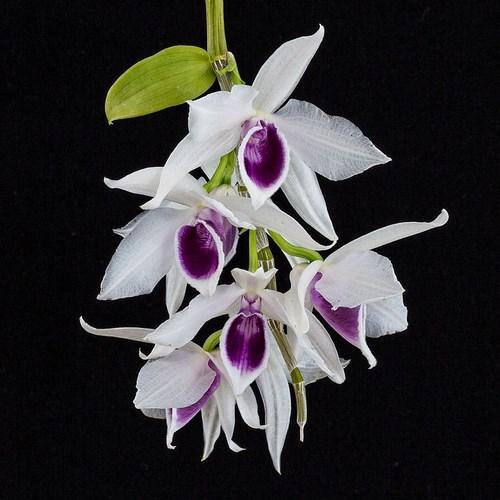 Orchidee Dendrobium nobile semi alba
