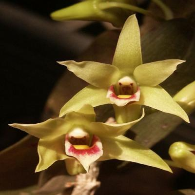 Orchidee Dendrobium officinale