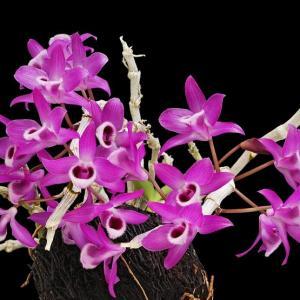 Dendrobium parishii 1 1
