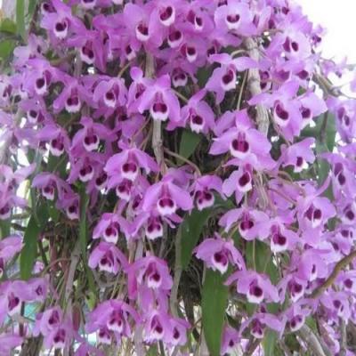 Orchid Dendrobium parishii
