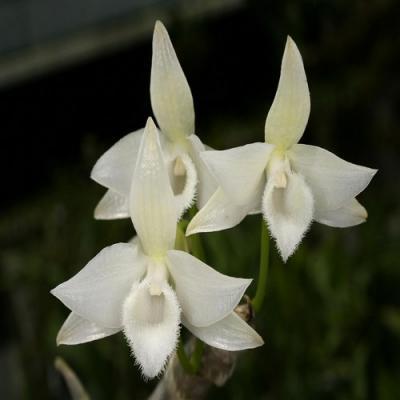 Orchidée Dendrobium parishii var. alba
