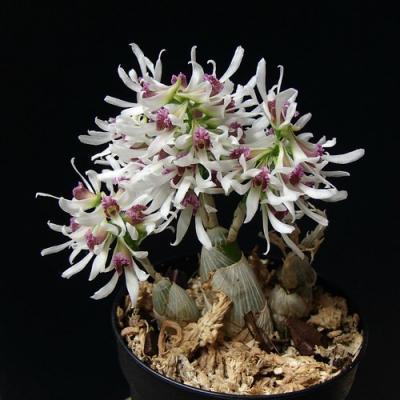 Dendrobium peguanum vente achat orchidee