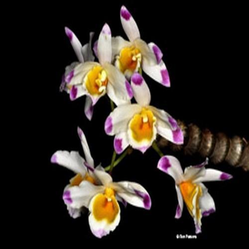 Orchidea Dendrobium pendulum