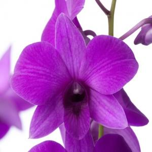 Dendrobium pink party achat vente orchidee